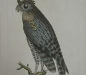 Least Horned Owl – Shaw & Nodder – 1790