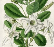 Clammy Anthocercis – Sarah Drake – 1833
