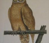Cayenne Owl by Shaw & Nodder – c1790
