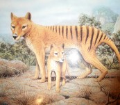 Tasmanian Tiger – Extinct or Merely Elusive – Andy Park – Australian Geographic 1986