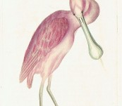 Rose-Coloured Spoon-Bill – Shaw and Nodder – 1792
