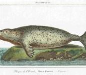 Earless or True Seal – Vauthier – 1820