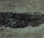 Museum Quality Fossil Bowfin Fish from the Messel Pits, Germany