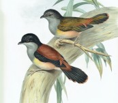 Rufous-bellied Pteruthius  (Pteruthius Rufiventer) John Gould – The Birds of Asia