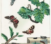 Eyed Hawk Moth and White Sating Moth – Hand Coloured Engraving – Moses Harris – 1840