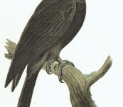 Goliath Palm Black Cockatoo – Rene Lesson – 1838
