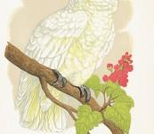 Lesser Lemon-Crested Cockatoo – Greene's Parrots – 1884