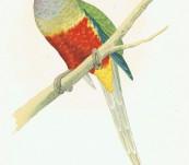 Australian – Blue Bonnet Parrakeet – Greene – 1884