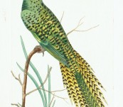 Eastern Ground Parrot – Shaw and Nodder – 1795