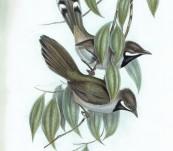 Western Whipbird (Psophodes Nigrogularis) John Gould – Birds of Australia 1840