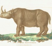 Two-Horned Black Rhino – Shaw and Nodder – 1800