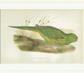 Tasmanian Ground Parrot – Greene – 1884