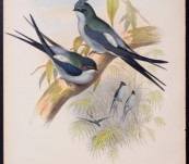 Wallace's Tree Swift  (Dendrochelidon Wallacei ) John Gould – The Birds of Asia – 1860