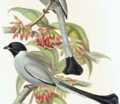 Hooded Racket-Tailed Magpie (Crypsirhina Cucullata) From Burma – John Gould – The Birds of Asia – 1860′s