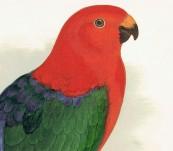 King Parrot or Parrakeet – Greene – 1884