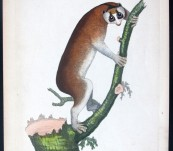 Slow-paced Dwarf Lemur – by Shaw & Nodder -1790