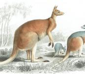Red Kangaroo (Woolly Kangaroo) – D'Orbigny and Travies -1849