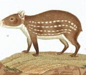 South American Aguti and Paca – 1820