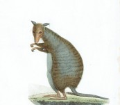 Banded Hare-wallaby or Munning – Lesson – c1830