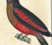Illustrations De Zoologie (Complete with 60 Hand Coloured Stipple Engraved Plates) – Rene Primevere Lesson  – Published progressively from 1831 to 1834 – Scotland's Great Naturalist Sir William Jardine's Copy