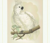 Great White-Crested Cockatoo – Greene – 1884