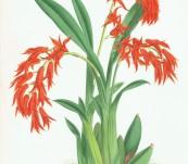 Ada Aurantiaca (Orchid from South America) –  Nugnet Finch for Warner 1882