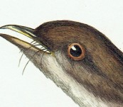 Australian Bristlebird  (Dasyornis Australis) [Endangered] – Sir William Jardine – 1826