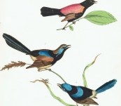 Australian Fairywrens –  Sir William Jardine – 1826