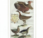 """Unusual Engraving of """"Birds from the Levant"""" –  Thomas Shaw -1738"""