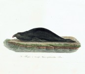 King Island Elephant Seal (Le Phoque a trompe) – Vauthier -1820