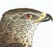 Falco Gallinarius (Northern Harrier)  – Johann Susemihl – 1797 to 1810