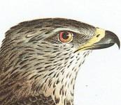 Falco Gallinarius (Northern Harrier)  – Johann Susemihl – 1797 to 1810