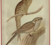 Australian Frogmouths  – Broinowski – 1890