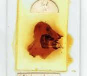 """Antique Microscope Slide – Extra large sized Slide – """"Brain Section – Van Gieson""""' – Oct 1906"""