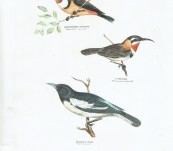 Silvester Diggles – Australian Birds – Pied Honey-eater, Slender-billed Spine-bill and the White eye-browed Spine-bill
