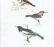 Silvester Diggles – Australian Birds – Pied Honey-eater, Slender-billed Spine-bill and the White eye-browed Spine-bill