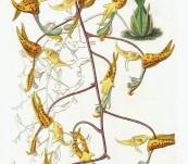 Spotted Gongora  (Gongora Maculata) – Sarah Drake – 1833