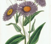 Shewy Stenactis  (Stenactis Speciosa) – Sarah Drake – 1833