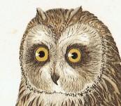 Short Eared Owl – Susemihl – 1838