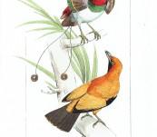 King Bird and Regent Bird of Paradise  – Lemaire 1836