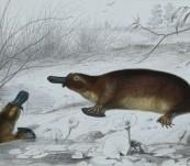 Original Platypus Engraving  – Fournier -1849
