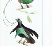 Magnificent Bird of Paradise and the Superb Bird of Paradise [From Papua New Guinea] – Lemaire – 1836