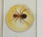 Victorian Microscope Slide – Horse Ant … Whole Insect Specimen – Mounted and dated 1880.